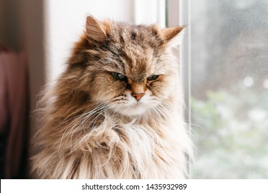 Closeup front facing portrait of a tan long haired cat with an angry expressing and soft focus of window and white wall in background