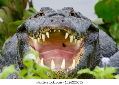 Close-up front view of a big Black Caiman with open mouth and huge fangs framed with green leaves, Pantanal Wetlands, Mato Grosso, Brazil
