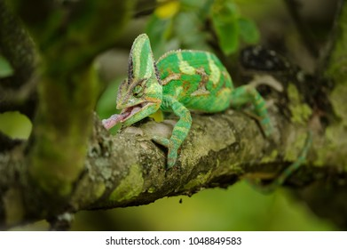 Closeup front view on hunting chameleon on tree branch