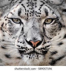 Closeup Frontal Portrait of Snow Leopard