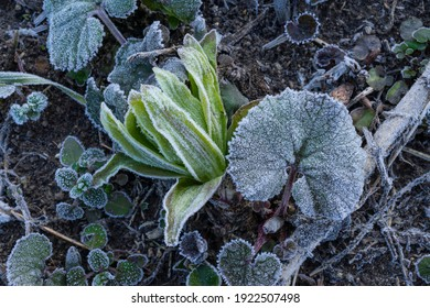 Close-up of frosted butterbur leaf