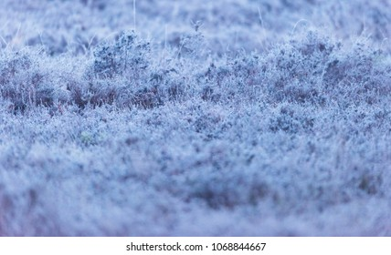 Close-up of frozen heather in early morning.