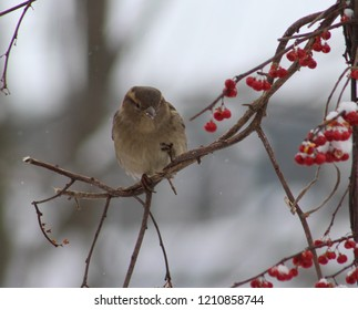 Closeup of a frozen little female sparrow alternating lifting her claws up from the frozen bittersweet branch she was perched on, with snow flurries sprinkling down around her.