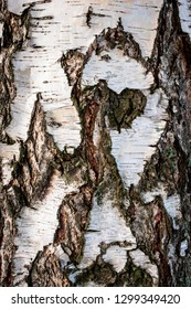 Closeup full frame of a natural white birch with cracked bark and abstract pattern.