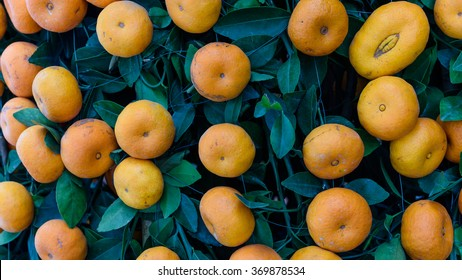 Close-up, full frame view of virbrant ripe Kumquats fruits on tree decorations for Chinese New Year. Kumquat (cumquat, golden tangerine) is symbol of Lunar New Year. Nature background. Panormic style