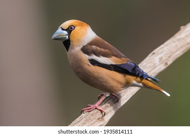 Close-up and full image of colorful Hawfinch Coccothraustes sitting with pink feet on a wooden stick with diffused background