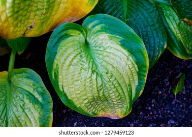 Closeup of a funkia (Hosta) plant. Big green and yellow decorative leaves in the flowerbed. Hostas are shade tolerant plants. Natural vegetation background.