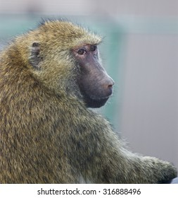 The close-up of the funny baboon that turns back
