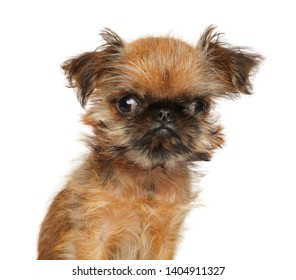 Close-up of a funny Brussels Griffon puppy, isolated on white. Animal themes