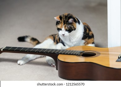 Closeup of funny female calico cat sitting, standing up, lying on carpet floor near musical instrument guitar, curious in home, house room studio