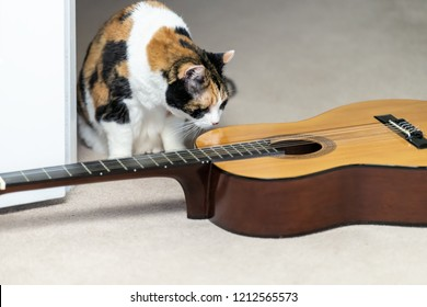 Closeup of funny female calico cat sitting, sniffing, smelling on carpet floor, musical instrument guitar, curious in home, house room studio