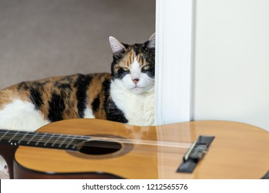 Closeup of funny female calico cat sitting, lying on carpet floor near musical instrument guitar, curious in home, house room studio