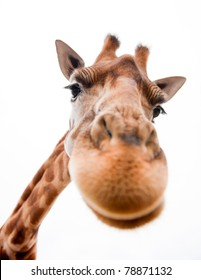 Close-up of a Funny Giraffe on a white background