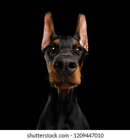 Close-up Funny Portrait of Doberman Dog with big nose Stare in Camera in Camera on isolated Black background