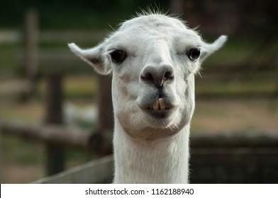closeup of funny portrait of lama in a farm