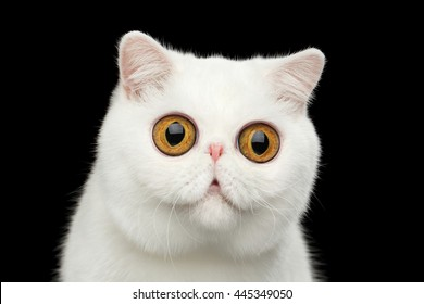 Close-up Funny Portrait of surprised Pure White Exotic Cat Head on Isolated Black Background, Front view, Curious fascinated Looks, Huge Eyes