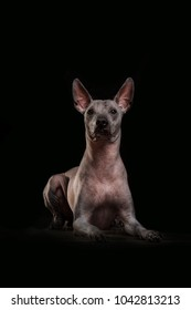 Closeup Funny Xoloitzcuintle - hairless mexican dog breed