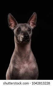 Closeup Funny Xoloitzcuintle - hairless mexican dog breed at the black background
