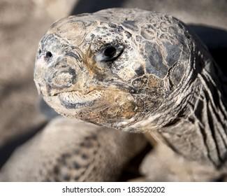Close-up of a galapagos tortoise
