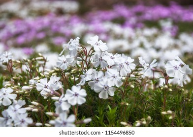 Close-up of garden bed flowers in the park on a blurred background at the Spring Festival at Mount Tomah Botanic Garden in the Blue Mountains, New South Wales, Australia.