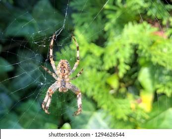 Closeup of  a Garden Spider on its web in the garden in Austria