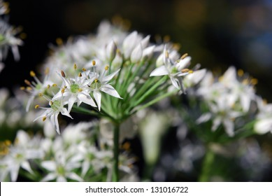 Closeup of garlic chives flowers
