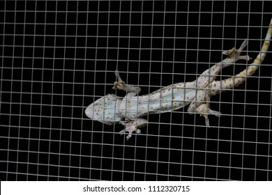 Closeup of a Gecko on steel mesh.Gecko gecko from Asia.