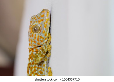 Close-up of gecko,  on the wall of the house, of beautiful skin gecko,Amazing colorful gecko.