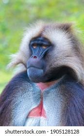 Close-up of a Gelada baboon , Theropithecus gelada,