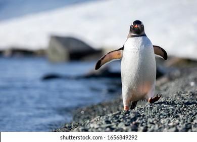 Closeup Gentoo Penguin is running towards stony beach shore in Antarctica