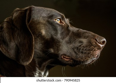 Closeup of a German Shorthair Pointer Hunting Dog in Profile