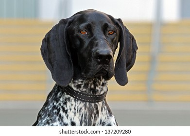 Close-up of German Shorthaired Pointer with a beautiful head