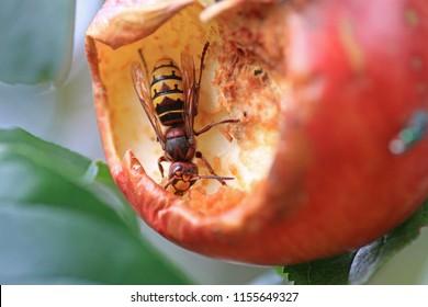 closeup of a giant hornet, hollowed out a ripe apple