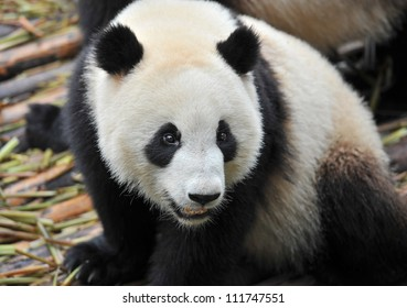 Closeup of giant panda bear