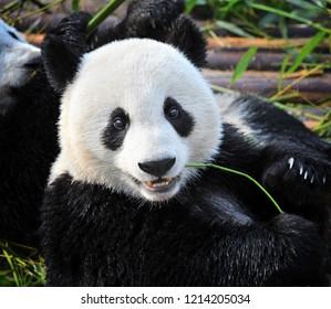 Close-up of giant panda bear