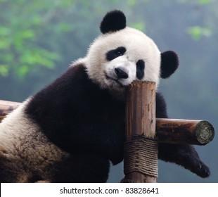 Closeup of giant panda bear looking right into the camera