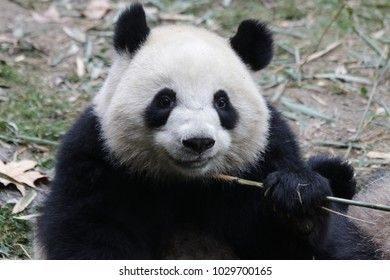 Close-up Giant Panda Round Face, fluffy and furry, China