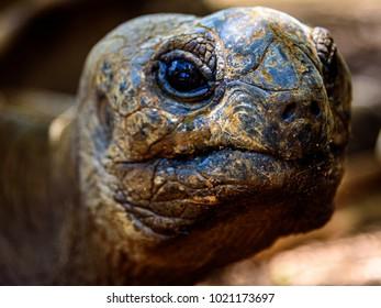 Closeup of a giant tortoise head