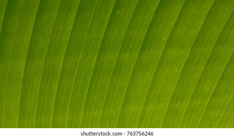Closeup of a ginger plant leaf