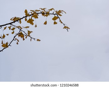 Close-up of A Ginkgo Tree Branch, Ginkgo Biloba, With Copy Space