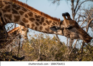 Closeup of a giraffe eating while on safari in South Africa