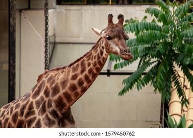 Closeup of giraffe feeding. Beautiful animal.