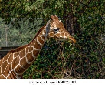 Closeup of a giraffe in front of green trees