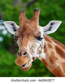 Close-up of a giraffe in front of some green trees, looking at the camera pulling a funny face. Portrait photo with space for text.