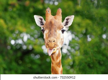 Close-up of a giraffe in front of some green trees, looking at the camera sticking his tongue out. With space for text.