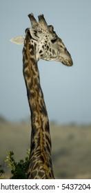 Close-up of giraffe, Serengeti National Park, Serengeti, Tanzania