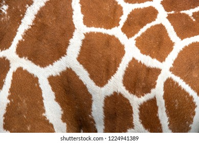 Closeup giraffe skin for the background
