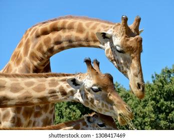 Closeup of giraffes (Giraffa camelopardalis) eating seen from profile