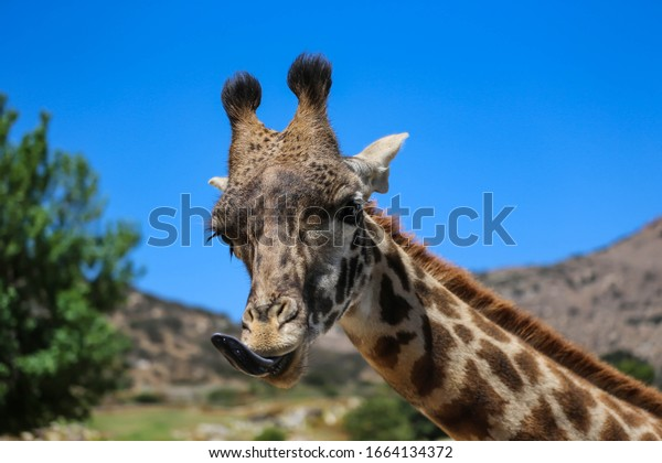 Close-up of a giraffe's head and neck, United States Zoo