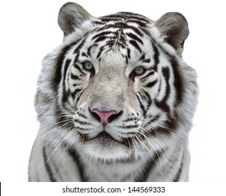 Closeup glamour portrait of a young white bengal tiger.
